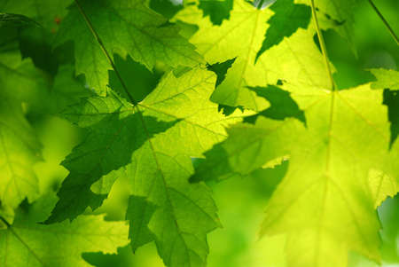 Green maple leaves background photo