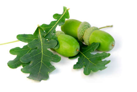 Acorns with green oak leaves close up photo
