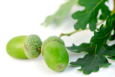 Oak branch with acorns close up Stock Photo - 522220