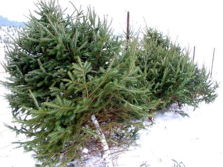 leaned: Christmas tree leaned on the fence for sale on the Christmas tree farm
