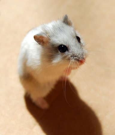 dwarf hamster: White dwarf hamster standing up