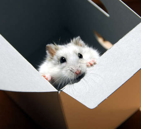 White dwarf hamster standing up in a box Stock Photo - 530412