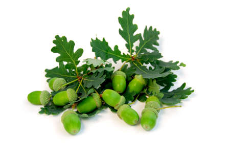 Acorns and oak branches on white background Stock Photo - 530388