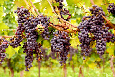 grape field: Bunches of red grapes growing on a vine