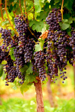 Bunches of red grapes growing on a vine photo