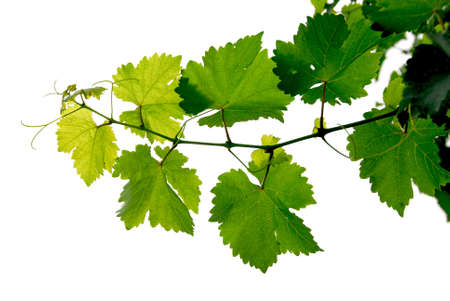 grapevine: Branch of grape vine on white background Stock Photo