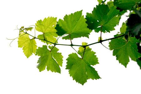 vid: Rama de la vid de uva en el fondo blanco