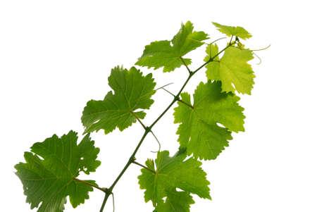 ��white wine �: Branch of grape vine on white background Stock Photo