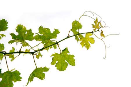 Branch of grape vine on white background Stock Photo - 530350