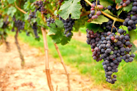 grape leaf: Row of vines with red grapes Stock Photo