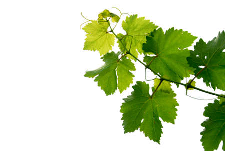 white wine: Branch of grape vine on white background Stock Photo