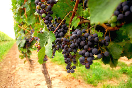 Rows of vines with red grapes