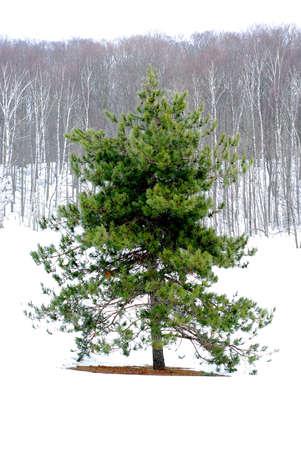 standalone: Single pine tree in a snowy field, winter forest in background
