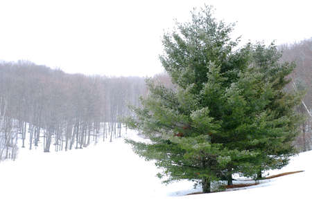standalone: Pine trees in a snowy field, winter forest in background Stock Photo
