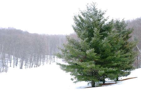 Pine trees in a snowy field, winter forest in background Banco de Imagens