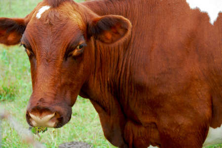 Brown cow chewing grass in a field photo