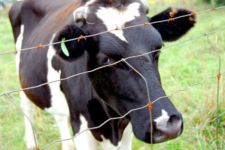 spotted: Spotted black and white cow behind barbed wire fence Stock Photo