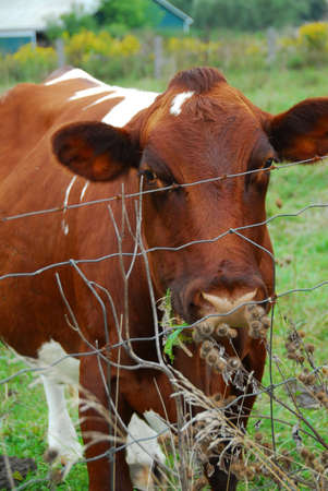 barbed wire fence: Brown cow behind barbed wire fence