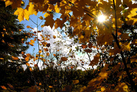 Sun shining through yellow fall maple tree branches photo