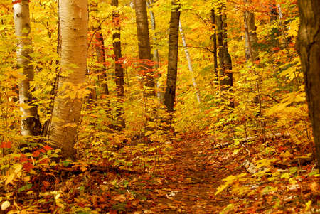 colorful maple trees: Golden fall forest with hiking trail
