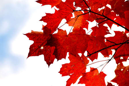 Bright red fall maple leaves