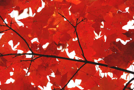 overlapped: Bright red fall maple leaves