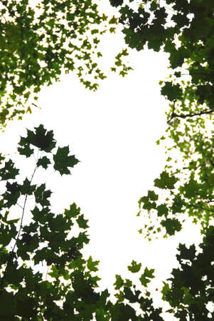 formed: Background or frame of natural green maple leaves formed by maple treetops