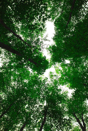 maple trees: Green tops of tall maple trees Stock Photo