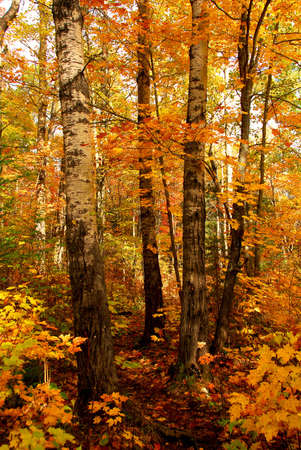 Golden fall forest with hiking trail photo