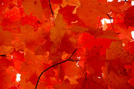 Bright red fall maple leaves background Stock Photo - 557763
