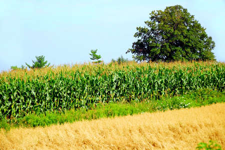 Agricultural landscape with corn and oat fields Stock Photo - 557756