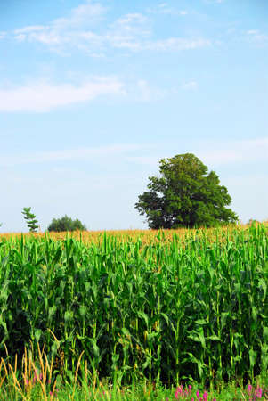 Tall green corn growing in a field Stock Photo - 557751