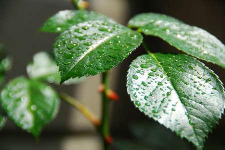 rose bush: Fresh green leaf of a rose bush covered with rain drops Stock Photo