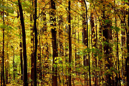 Colorful young fall forest glowing in sunlight photo