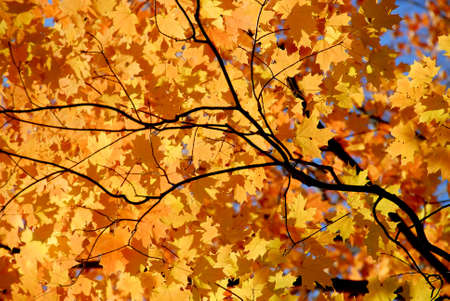 El fondo del arce anaranjado brillante de la caída se va con los ramas del árbol Foto de archivo - 571621