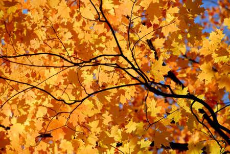 El fondo del arce anaranjado brillante de la ca�da se va con los ramas del �rbol Foto de archivo - 571621
