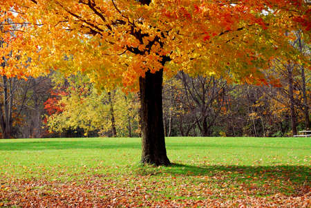 Single maple tree with colorful fall leaves