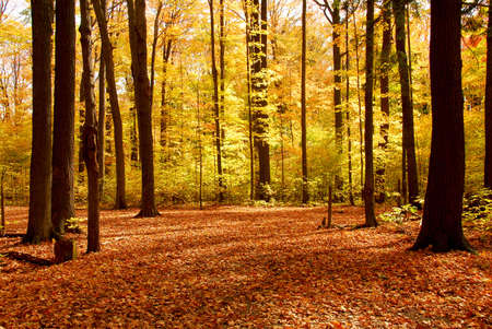 Colorful sunlit fall forest with fallen leaves covering the ground Stock Photo