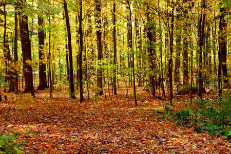 Colorful sunlit fall forest with fallen leaves covering the ground photo