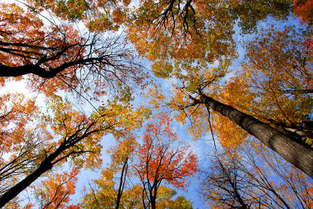 canopy: Tops of colorful fall trees on blue sky background Stock Photo