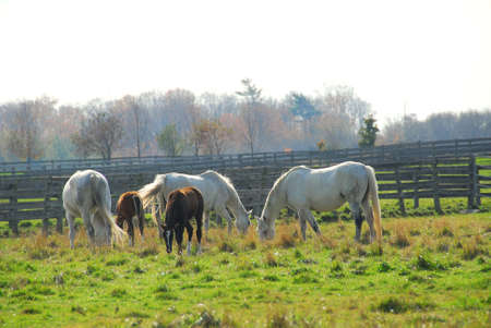 Horses on a ranch - white mares with brown colts Stock Photo - 596110