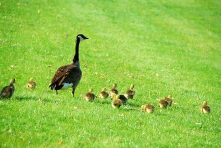 offsprings: Canadian mother goose with her goslings walking on green grass