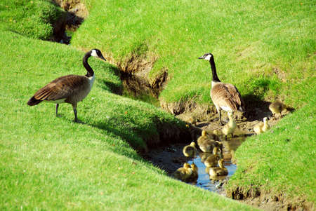Canadian geese with goslings in a small brook photo