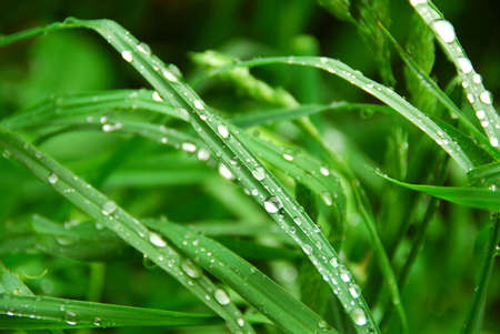 Macro of tall green grass blades with raindrops Stock Photo - 658390