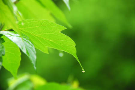 Macro of young green leaf with hanging raindrop Stock Photo - 658394