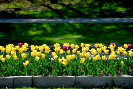 massif de fleurs: Rang�e de tulipes jaunes dans un parterre de fleurs