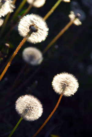 seeding: White seeding dandelions in late afternoon sunlight Stock Photo