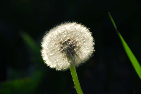 seeding: White seeding dandelion in late afternoon sunlight with grass blade Stock Photo