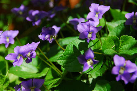 Wild violets blooming in late spring close up Stock Photo