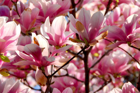 magnolia flower: Background of blooming magnolia tree with big pink flowers Stock Photo
